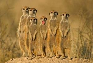 meerkat-011